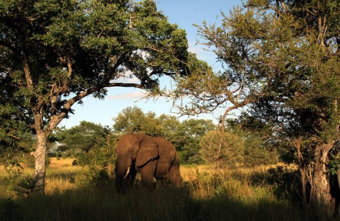 Os elefantes são um dos Big Five da África do Sul (foto: Eduardo Vessoni)