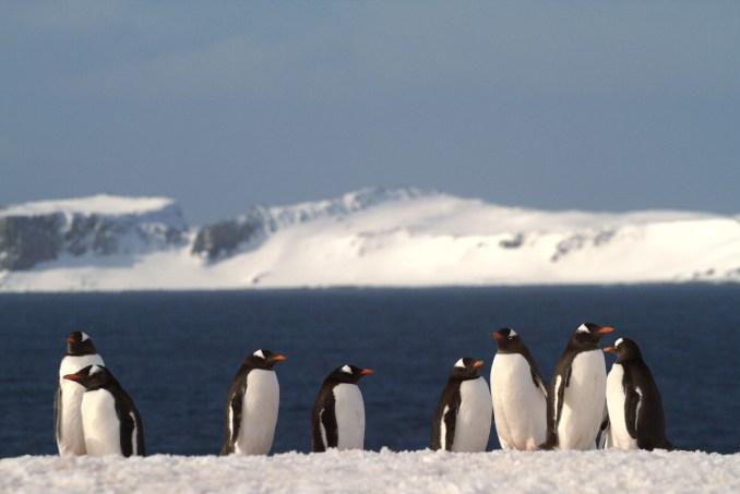 Pinguins-gentoo, em Aitacho Island, Península Antártica