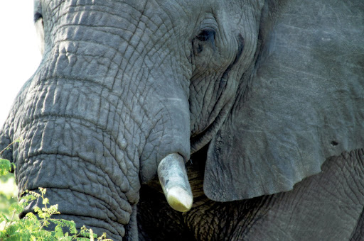 big five - elefante