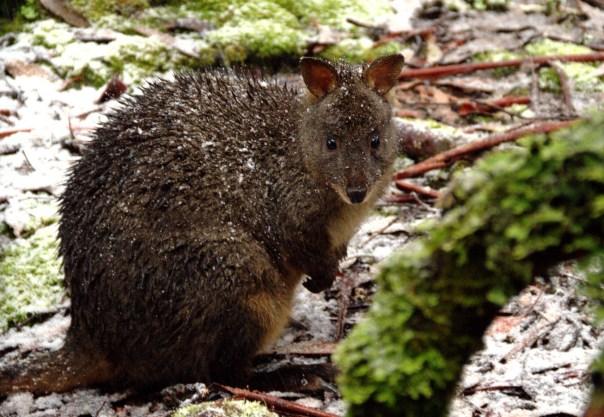 Animais como o pademelon são algumas das espécies endêmicas da Tasmânia, na Austrália (foto: Eduardo Vessoni)