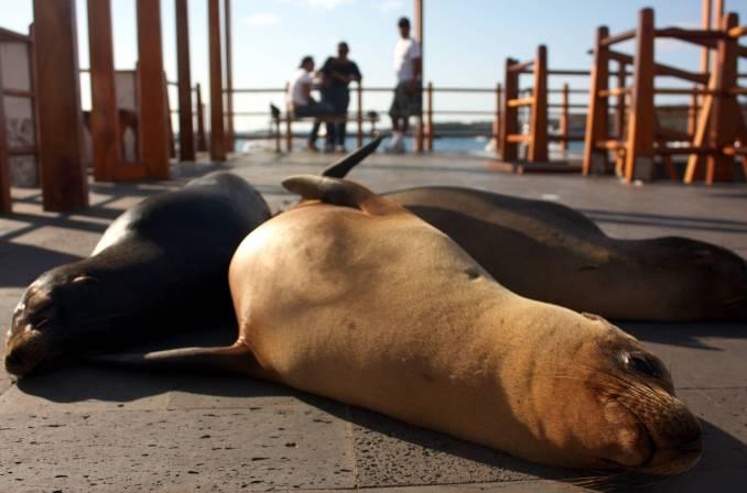 Animais marinhos podem ser encontrados na plataforma de desembarque da Ilha San Cristóbal, em Galápagos (foto: Eduardo Vessoni)