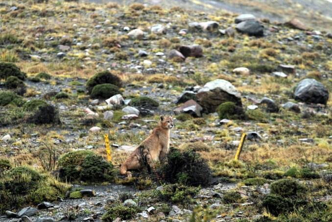 Puma visto durante trilha no Parque Nacional Torres del Paine, no sul do Chile (foto: Eduardo Vessoni)