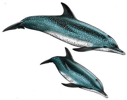 Delfino striato dell'Atlantico