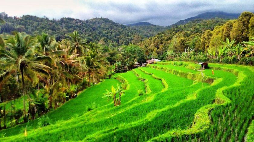 Risaie di Bali
