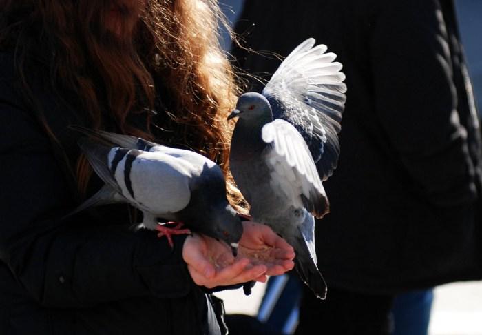 Senza piccioni è inimmaginabile Venezia