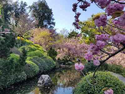 Ciliegi in fiore nel giardino giapponese dell'orto botanico