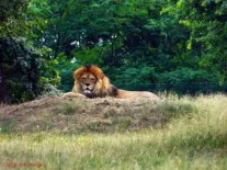 Leone, Safari Park di Pombia.