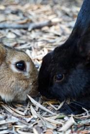 conigli sull'isola di lokrum
