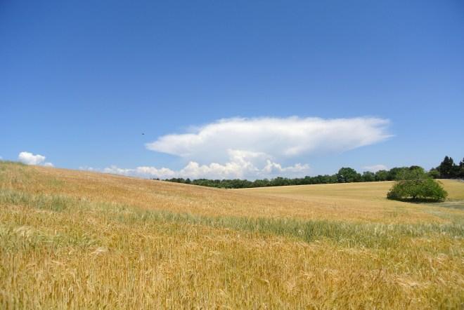 Campi di grano, Gordes