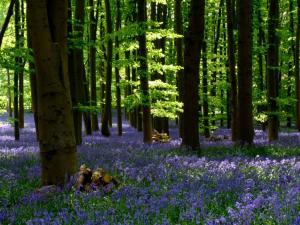 boschi di Bluebells in Cornovaglia