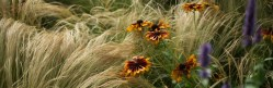 cropped-jakobstion-stipa-e-helenium.jpg