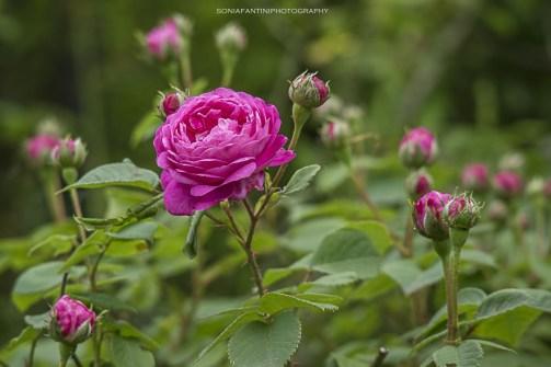 roseto (3)