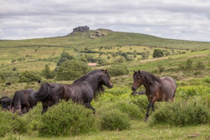 dartmoor pony 4