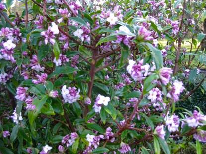 botanic_gardendafne_169