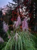 Cortaderia selloana variegata