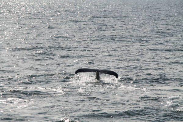 Balene a Boston