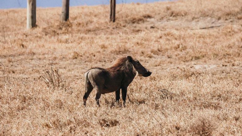 Facocero - Masai Mara