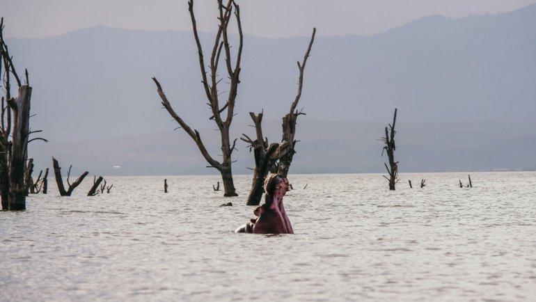 Ippopotami - Lake Naivasha