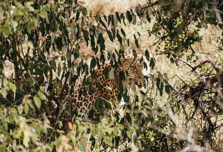Leopardo - Masai Mara