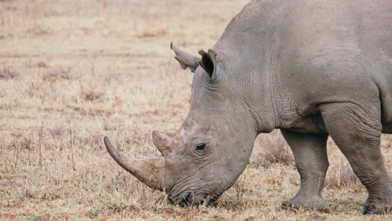 Rinoceronte - Lake Nakuru Park