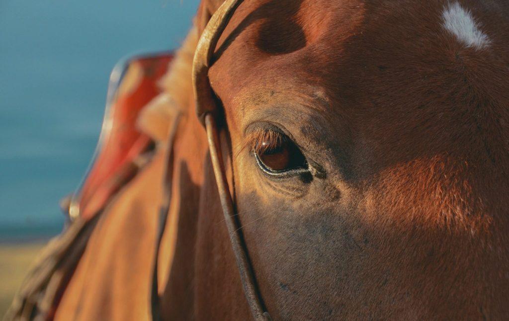 cavallo mongolo