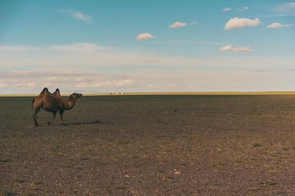 Cammello Gobi Desert