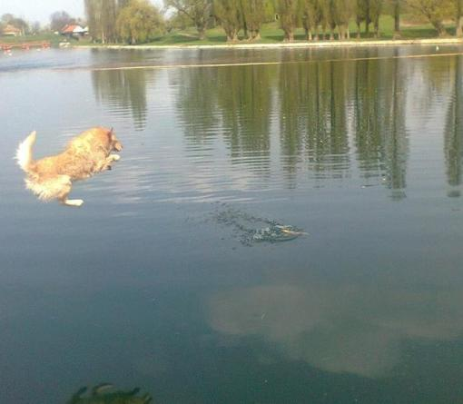 Dog jumping in Jarun Zagreb