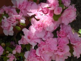 Azaleas en flor de mi jardín