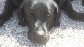 Boss, nuestro perro labrador