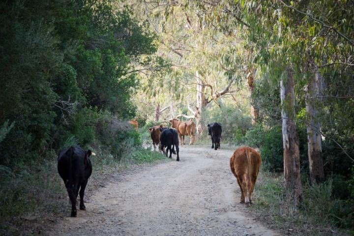 Ruta-senderismo-Algeciras-Tarifa-camino-interior-vacas