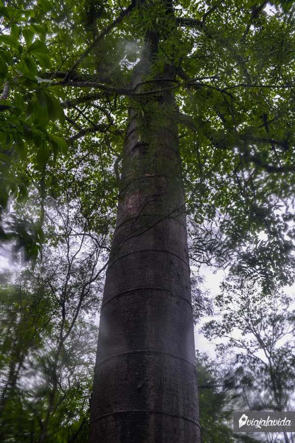 Cada aro representa 10 años de edad para el árbol.