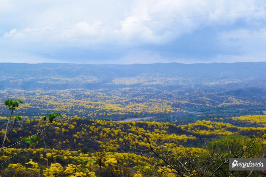 Enormes hectáreas de Guayacanes.