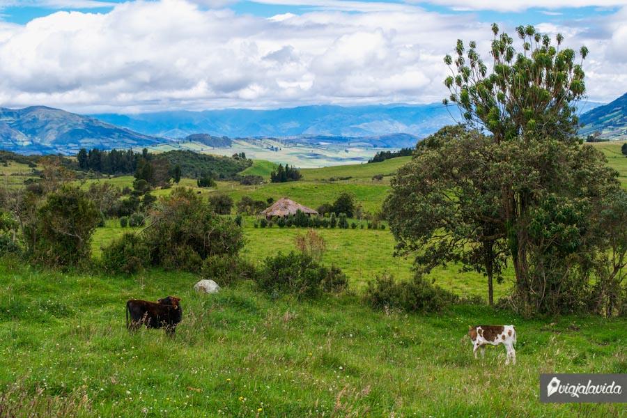 Vacas en lo alto de las montañas