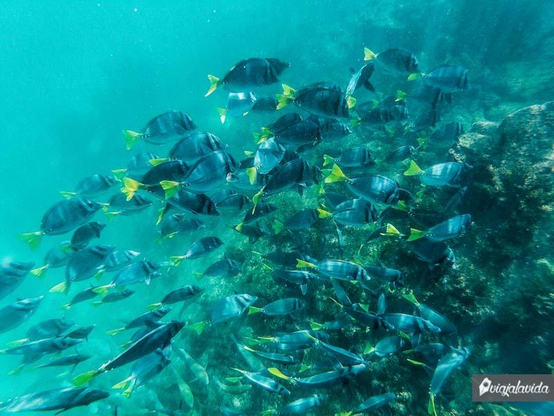Peces grandes y de colores, snorkel en Isabela