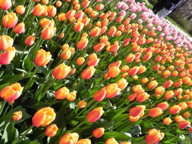 Tulipas amarelas, rosas, vermelhas... de todas as cores!