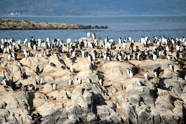 Os cormoranes, que não são pinguins! haha