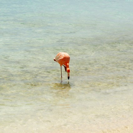 Um dia na Flamingo beach, a ilha do Renaissance Hotel que é repleta de flamingos em Aruba