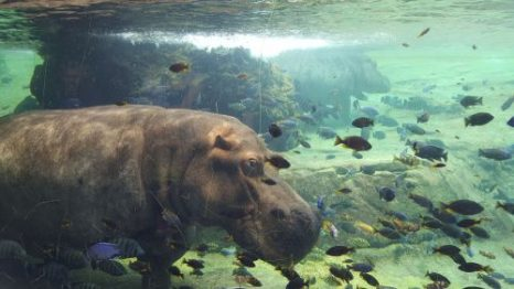 hipopótamos en el agua