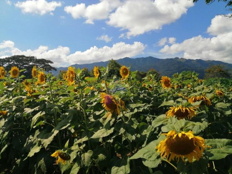 Campo de Girasoles en Guatemala