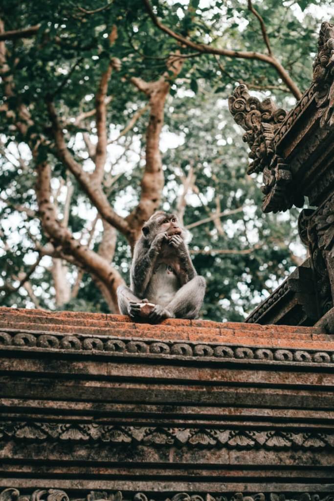 Monkey Forest, Macaco comendo fruta