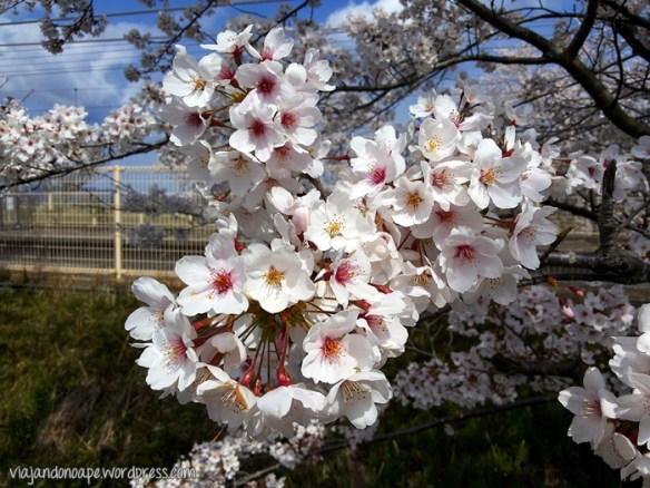 sakura_japão_cerejeira