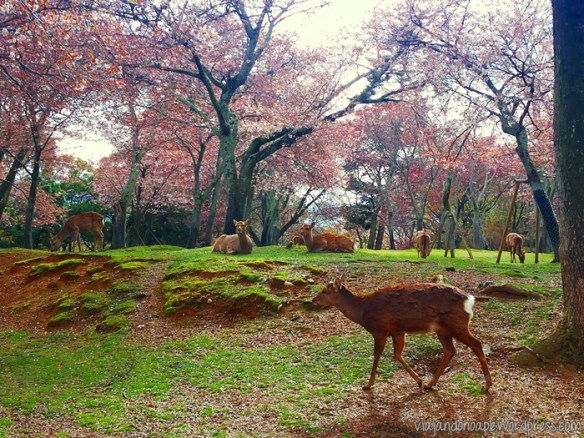 veados_Nara Park