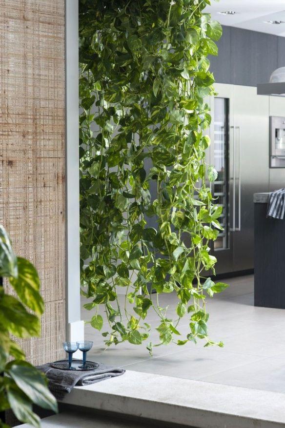 cortina verde plantas na decoracao jiboia plantas pendentes
