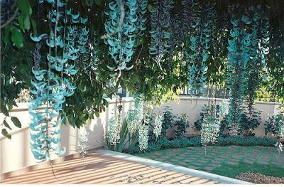 jade azul trepadeira pergolado