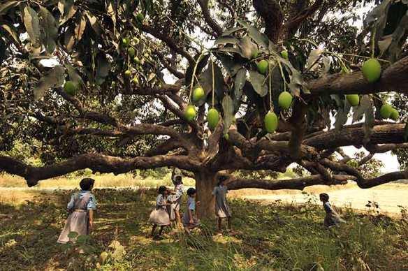 mango_tree