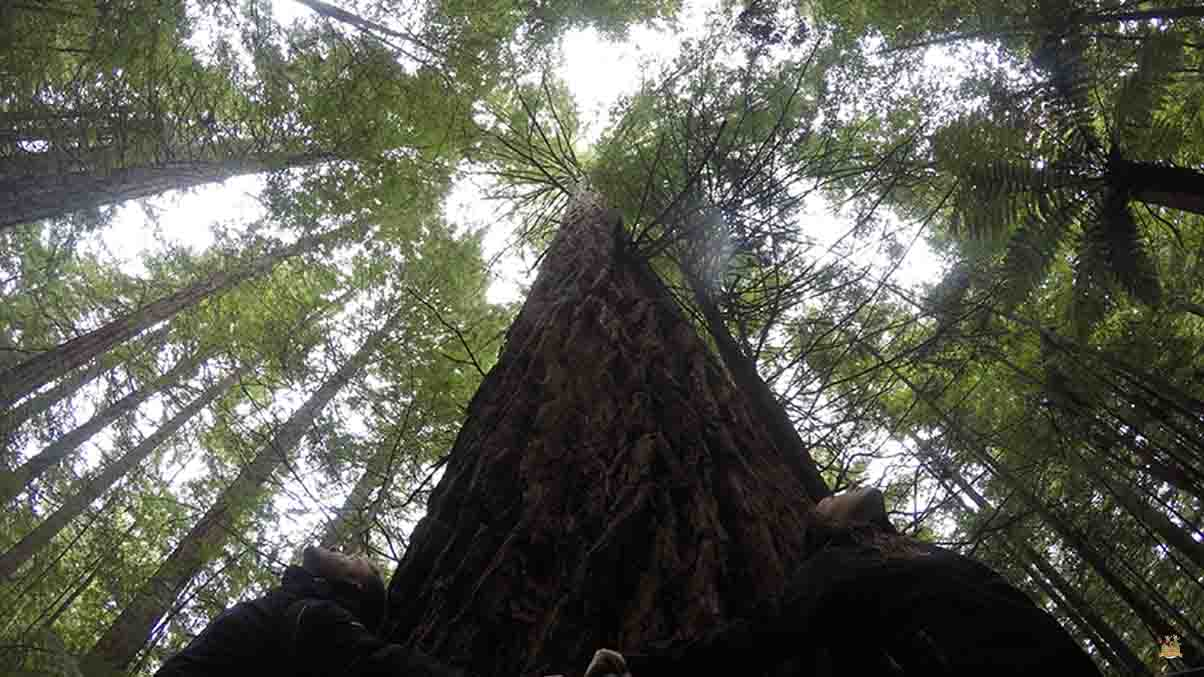 rotura redwoods