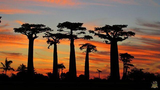 Avenida Baobabs Madagascar