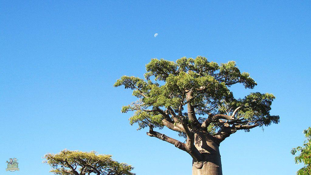 Boababs Morondava Madagascar