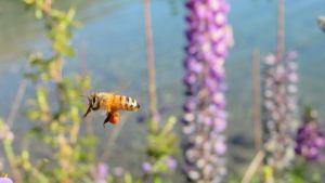 abeja con polén, en los lupinos del bolsón.