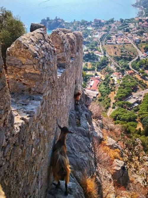 Cabras en el Castillo de Cefalu en Sicilia